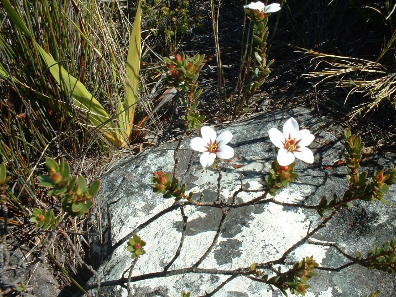 Adenandra_Rutaceae